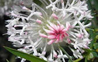 Pimelea Spectabilis