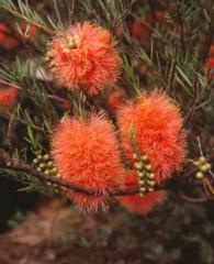 Melaleuca fulgens