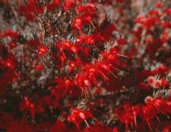 Verticordia mitchelliana