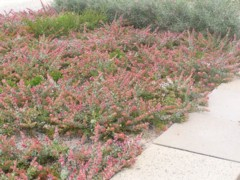 Adenanthos Cuneatus Ground Cover