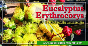 Eucalyptus Erythrocorys Growing & Care Guide Australia