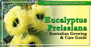 Eucalyptus Preissiana Australian Growing & Care Guide