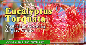 Eucalyptus Torquata Australian Growing & Care Guide