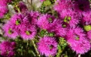 Beaufortia Elegans