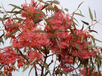Eucalyptus Torquata