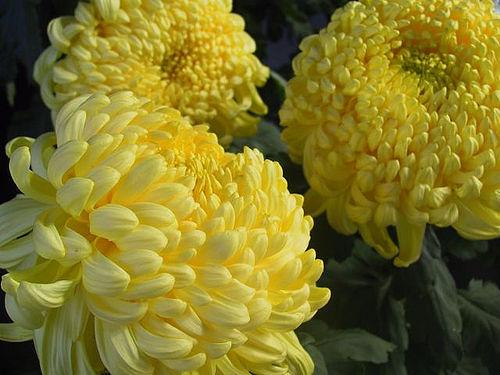 how to grow chrysanthemum in Australia
