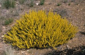 Acacia Sclerophylla