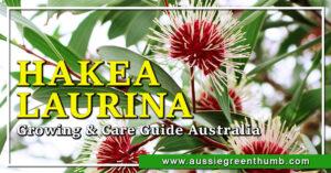 Hakea Laurina Growing & Care Guide Australia