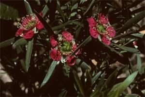 Leptospermum Spectabile