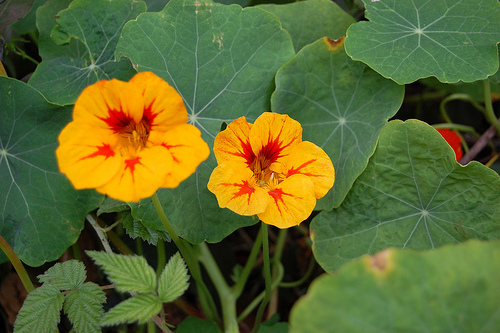 Nasturtiums Friend of Foe