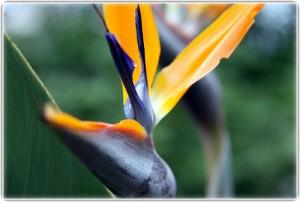 Bird of Paradise Better Garden