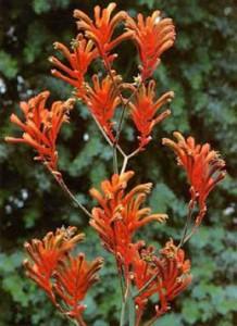 Orange Gem Kangaroo Paw anigozanthos flavidus