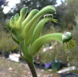 anigozanthos viridis the green machine kangaroo paw