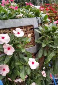 SunPatiens in a hanging basket