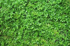 green-carpet-rupturewort