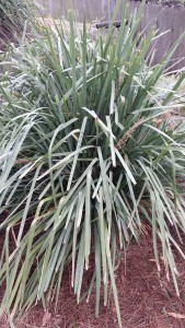 Lomandra longifolia is an indestructible native used to fill gaps in gardens,