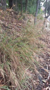 Themeda triandra is a great filling grass that you can use to create a native meadow look