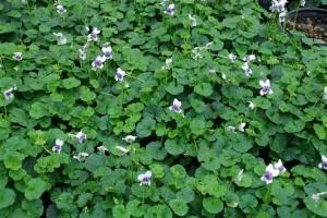 viola-hederacea
