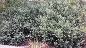 Westringia fruticosa is a top plant choice for shaping or hedging