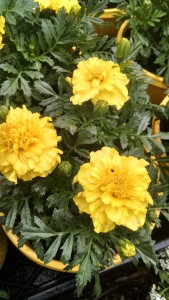 Marigolds are an easy and popular companion plant