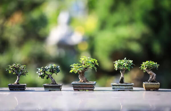 Bonsai is a Japanese technique to grow small or dwarf varieties of trees in small pots or containers