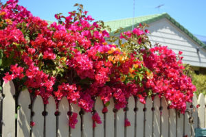 Bougainvilleas may also be trying to take over your garden so prune them back to keep them under control