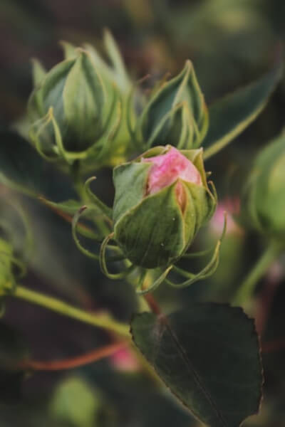 Bud of a plant can refer to many varied things, but in general it is a tightly condensed shoot which is the beginnings of flower, stem or leaf growth