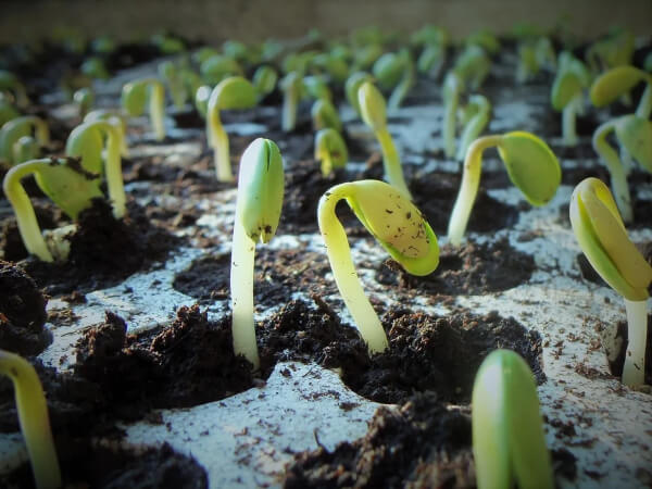 Germination applies to the first stage of development a seed takes in the process of becoming a plant