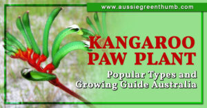Kangaroo Paw Plant Popular Types and Growing Guide Australia