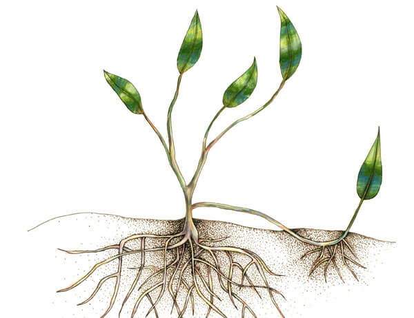 Layering is when you take the flexible stem of a plant, bend it over and cover it with soil, encouraging the buried stem to produce roots due to its proximity with the soil