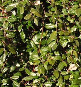 Most bush or hedge like plants are better of with small, regular prunes to keep them in shape