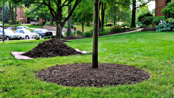 Mulch is a layer of material, usually organic placed around plants to help maintain moisture