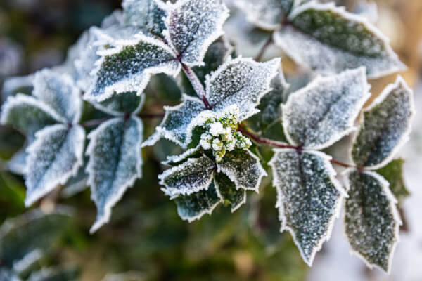 The term frost hardy is a plant that will not die if it has to go through some frost conditions