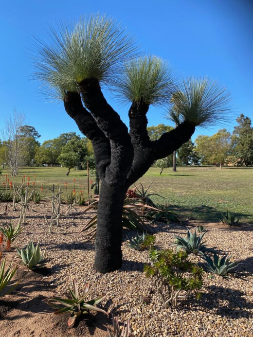 Glauca Grass Tree is the most hardy of all the Grass Trees