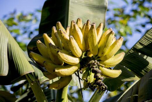 How to Take Care of a Banana Tree