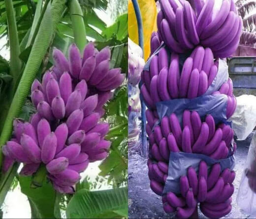 People prefer ice cream banana over other banana breeds because it can resist cold, strong winds and parasite infestation