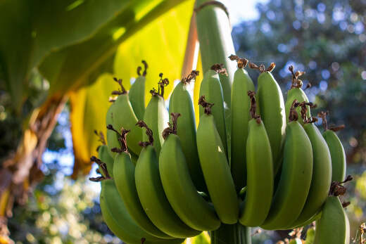 What Should I Look Out For When Taking Care of a Banana Tree