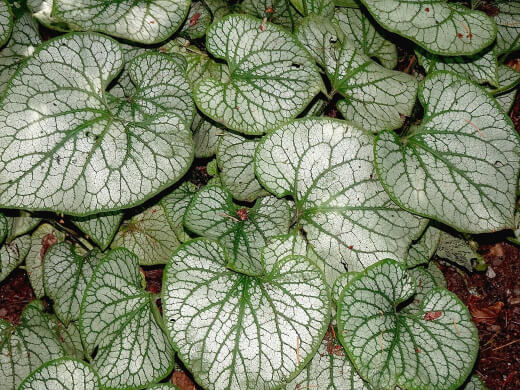 Watermelon peperomia is a tropical plant originating from South American
