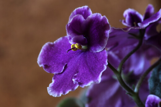 aAfrican Violets are the most common indoor flowering plant