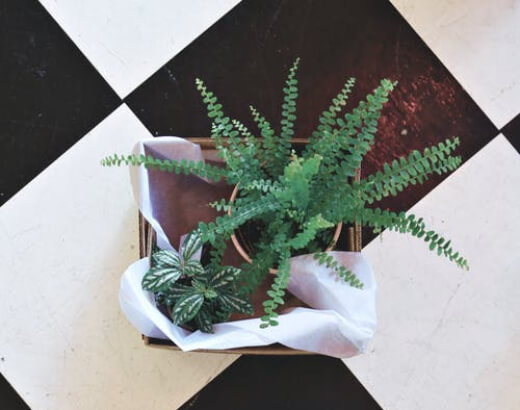 Boston fern (Nephrolepis Exaltata) is an eye-catching plant that looks like a feather