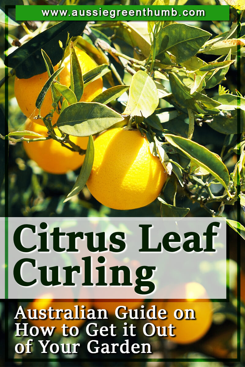 Citrus Leaf Curling Australian Guide on How to Get it Out of Your Garden