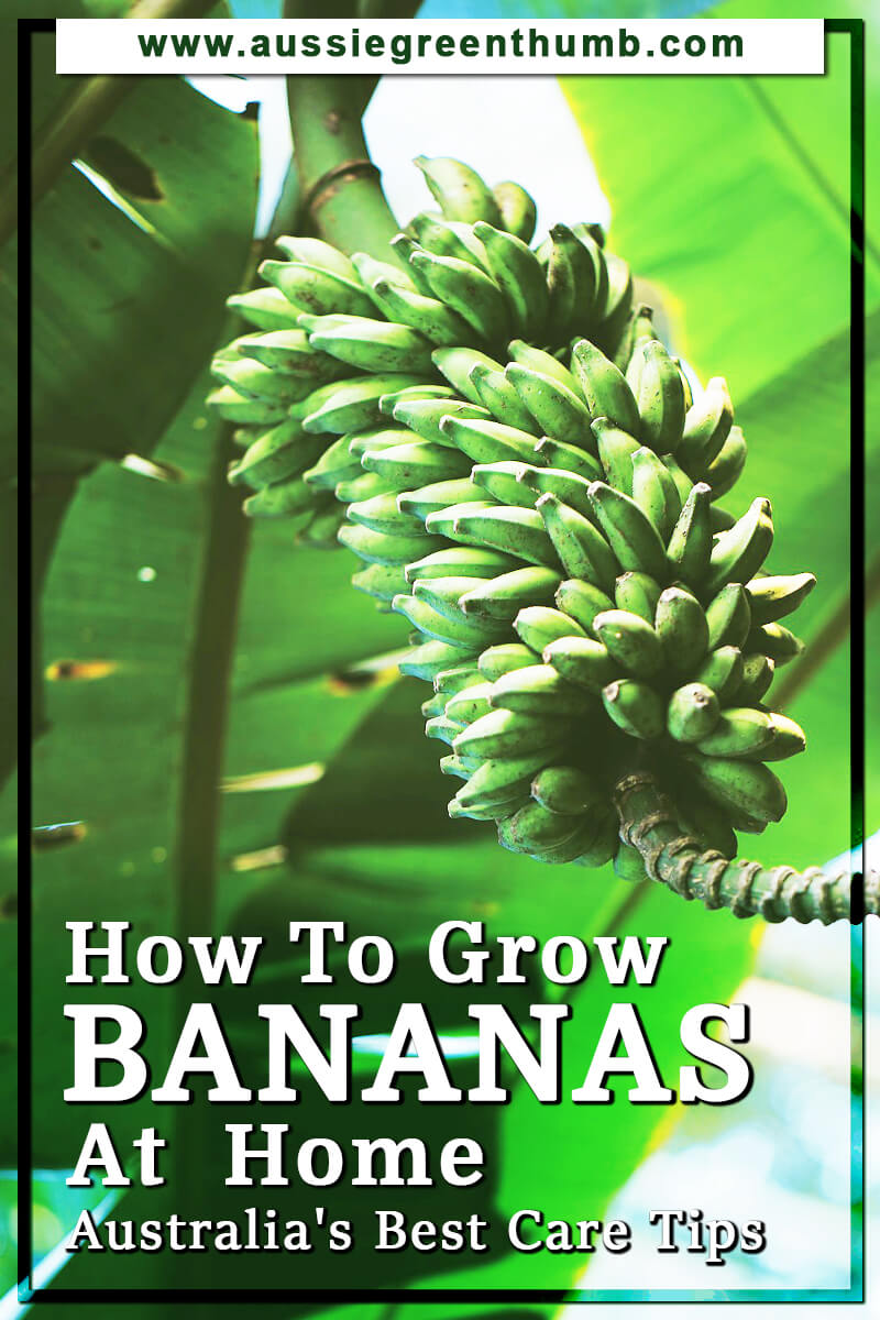 How To Grow Bananas At Home Australia's Best Care Tips