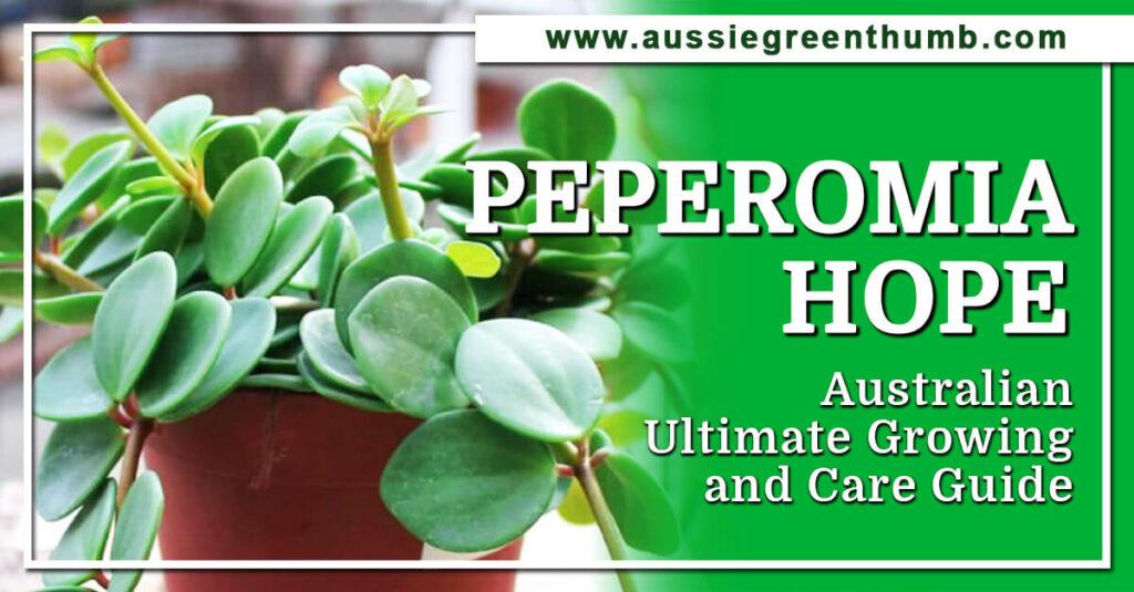 Peperomia Hope Guide