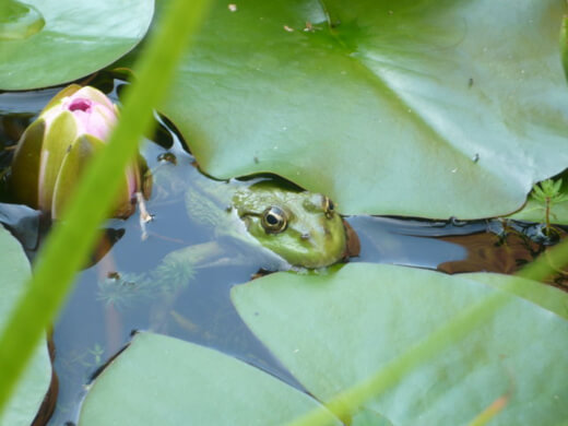Pond attract wildlife to their garden, as the water can attract lots of different types of insects and animals