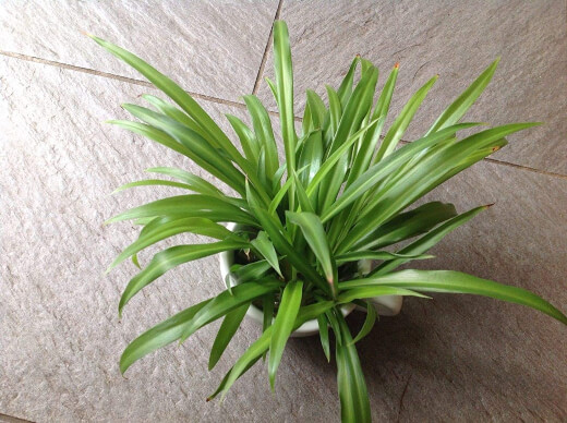 Spider Plant or Spider Ivy is safe for domestic animals and many pet owners have this in their homes