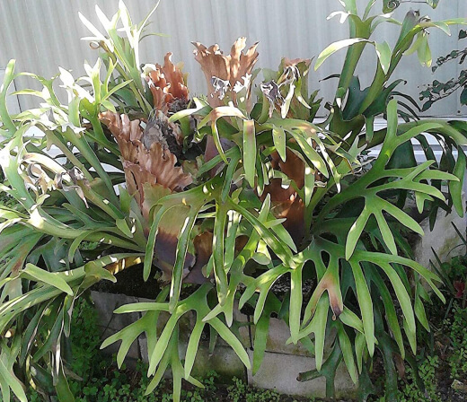 Staghorn ferns are non-toxic to your furry companions and they require minimal effort