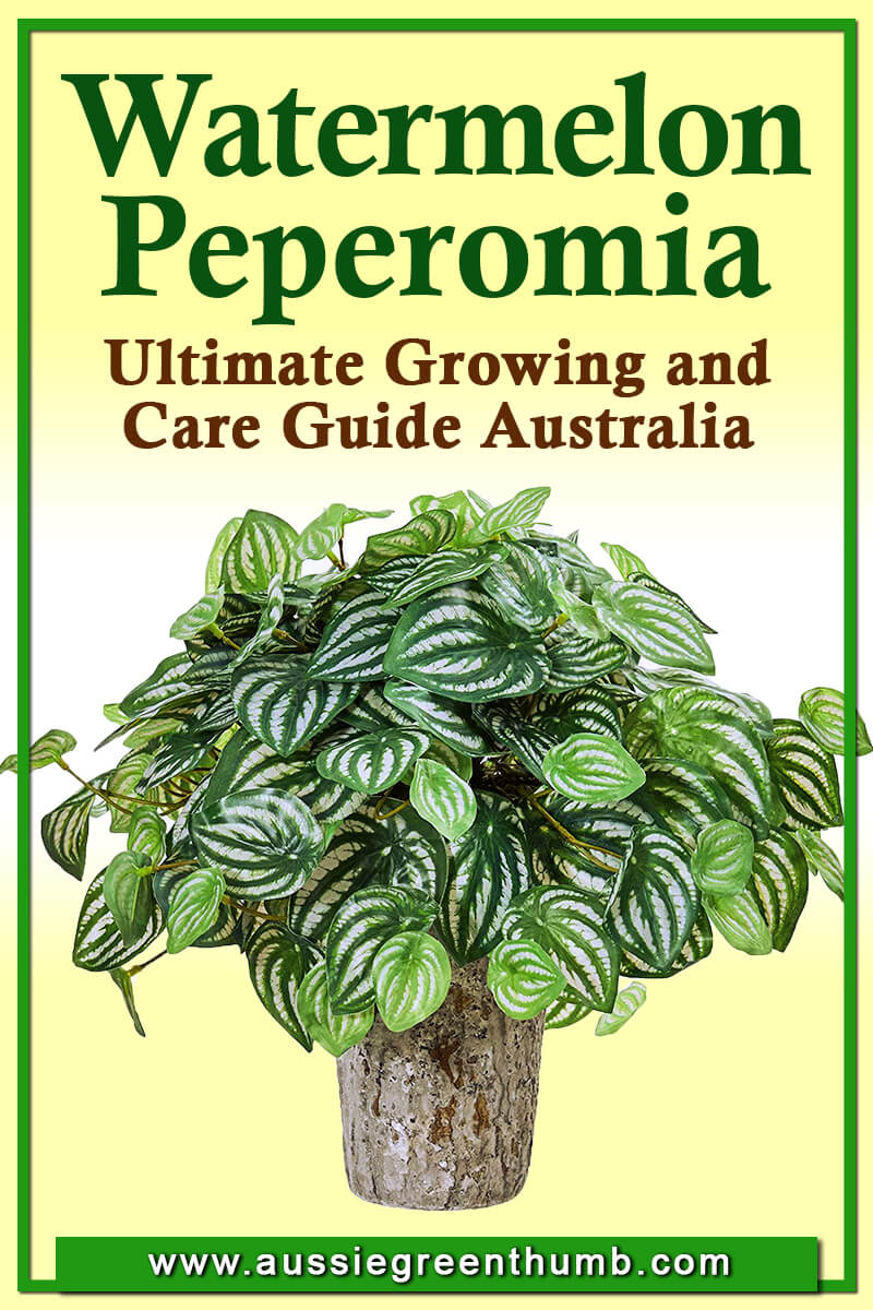 Watermelon Peperomia Ultimate Growing and Care Guide Australia