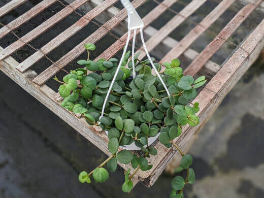peperomia hope care guide