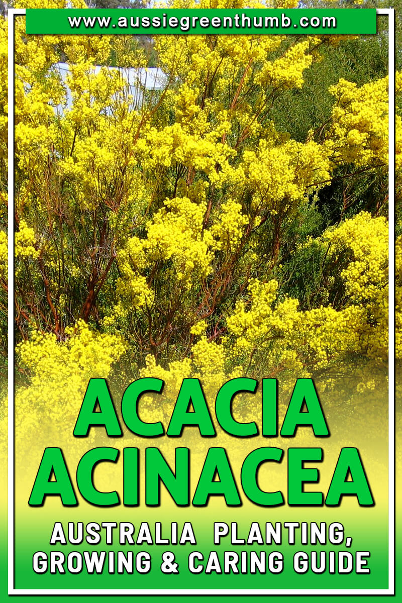 Acacia Acinacea Australia Planting, Growing and Caring Guide