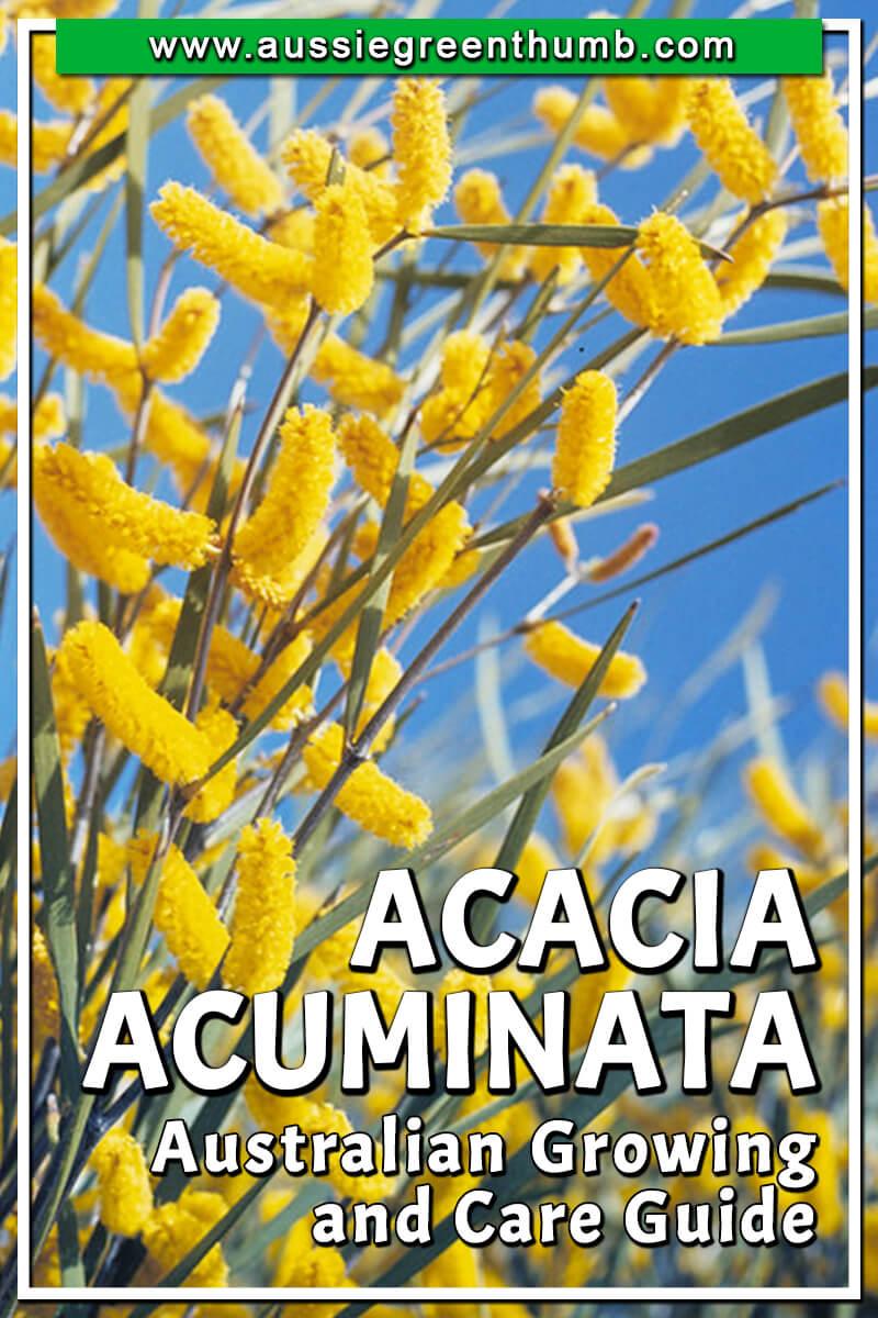 Acacia Acuminata Australian Growing and Care Guide